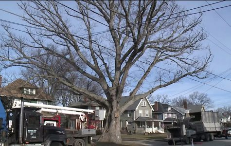 "Lakewood's ""Moses Tree"" comes down after 250 years"