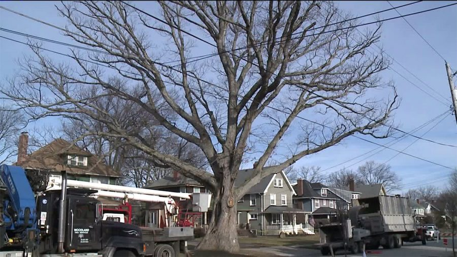 """Lakewood's """"Moses Tree"""" comes down after 250 years"""