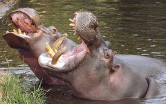 Hippos and Colombia